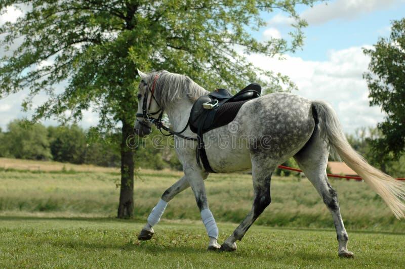 Cavalo cinzento Dappled fotografia de stock royalty free