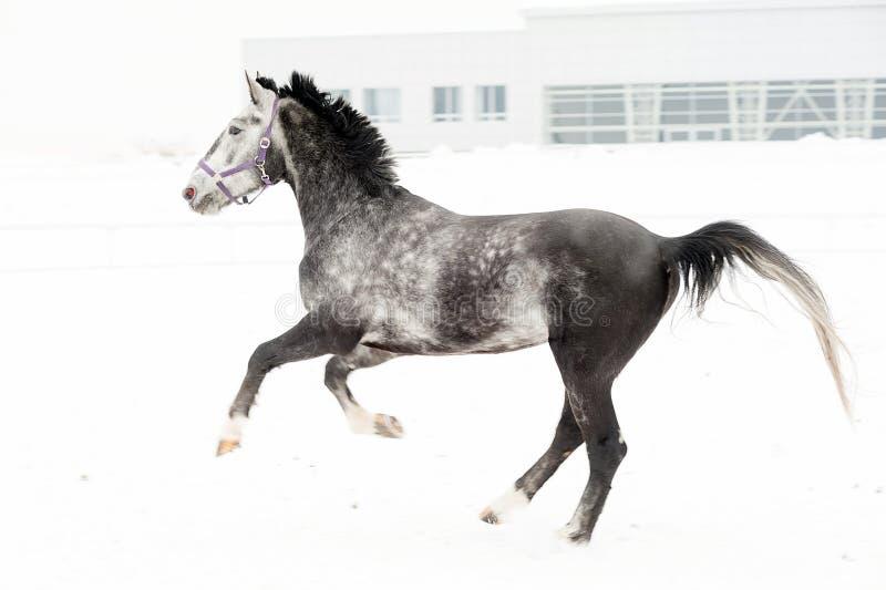 Cavalo cinzento do puro-sangue andaluz no campo do inverno no movimento no fundo do horizontal colorido do berçário fotos de stock