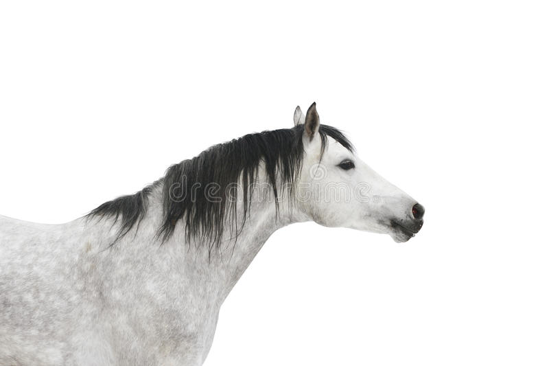 Cavalo Cinzento Isolado Foto de Stock
