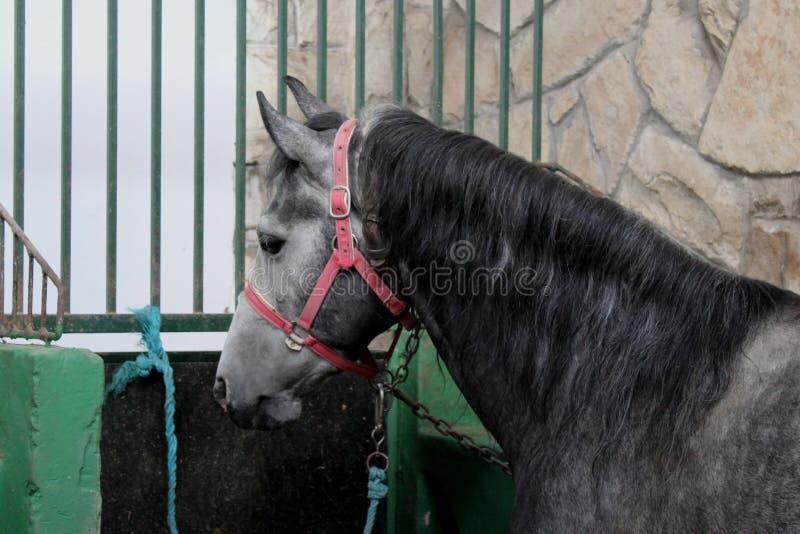 Cavalo cinzento no estábulo, celeiro foto de stock