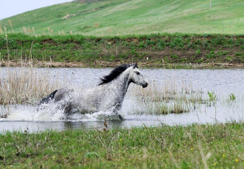 Cavalo cinzento que funciona na água imagem de stock royalty free