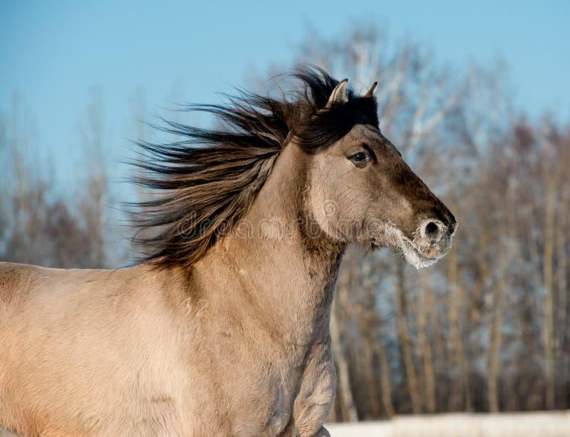 Cavalo cinzento selvagem fotos de stock
