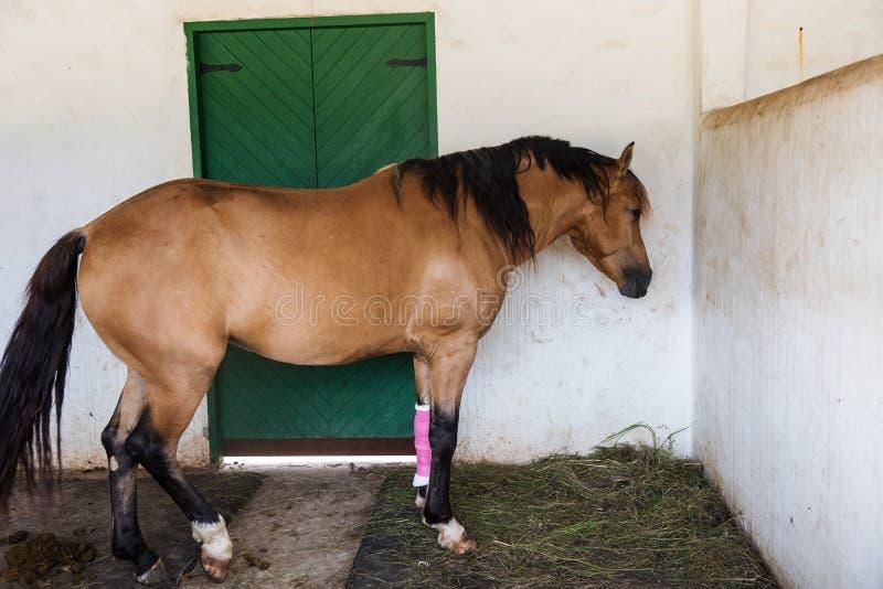 cavalo com enfaixado no pé ferido fotos de stock royalty free