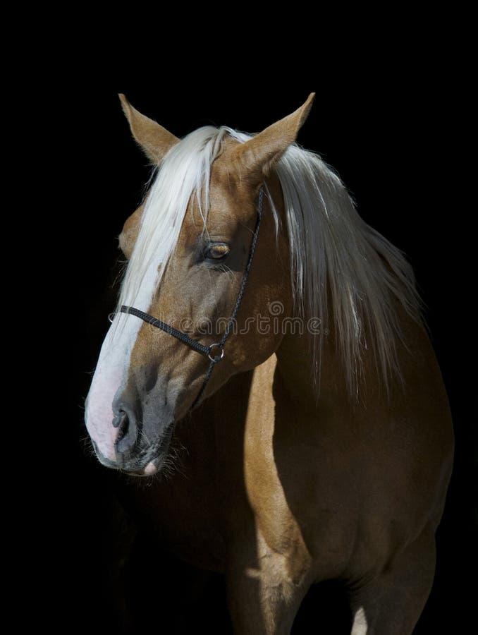Cavalo com uma juba longa branca em um fundo preto fotografia de stock