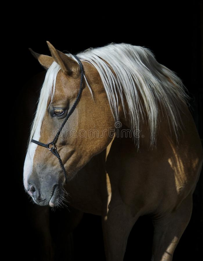 Cavalo com uma juba longa branca em um fundo preto imagens de stock