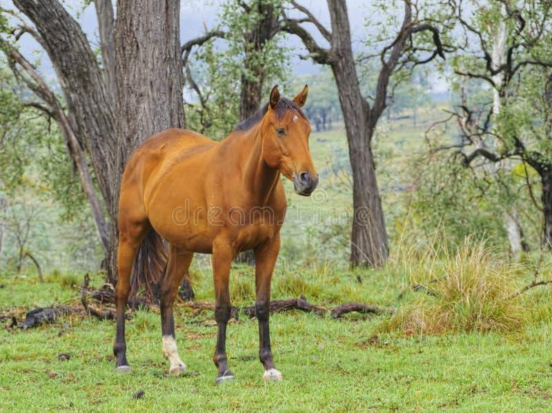 Cavalo conservado em estoque australiano no Bushland australiano imagem de stock