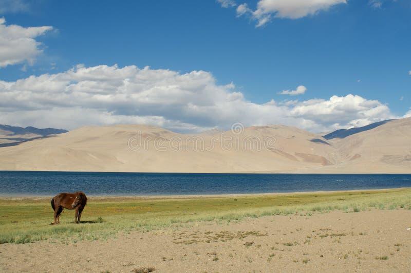 Cavalo contra o lago Tso Moriri foto de stock royalty free