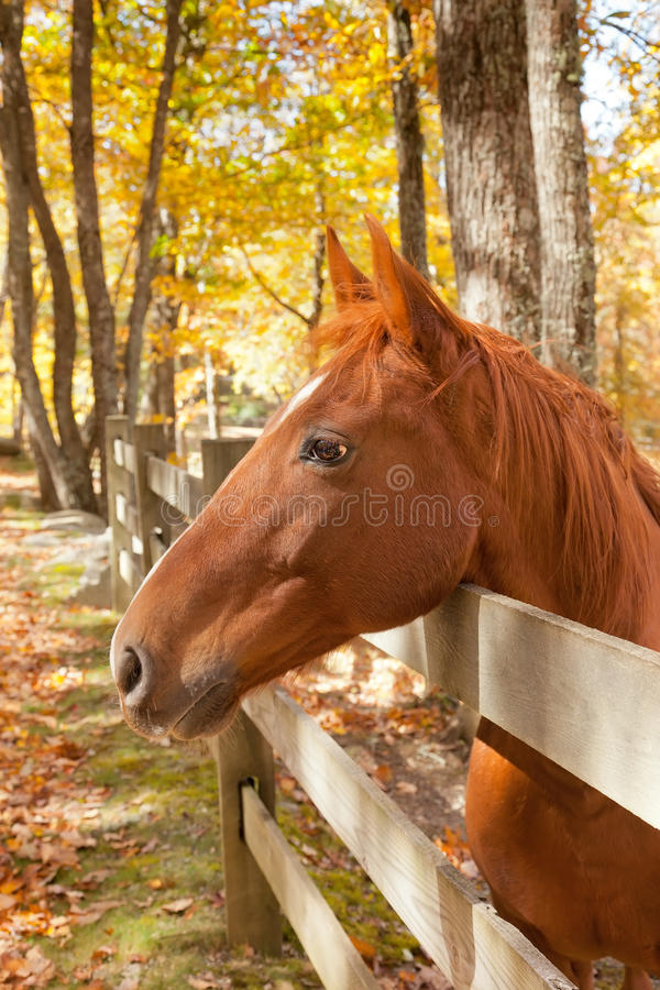 Cavalo da castanha imagem de stock royalty free