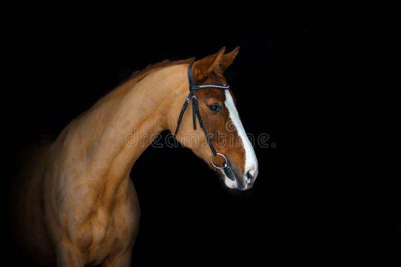 Cavalo da castanha em um preto foto de stock royalty free