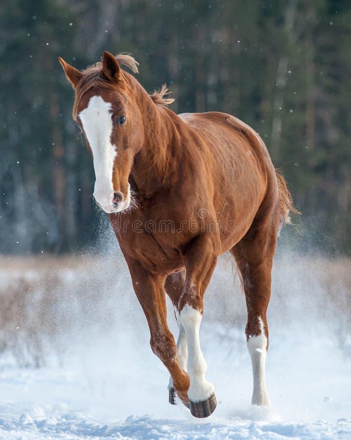 Cavalo da castanha que corre no inverno imagem de stock royalty free