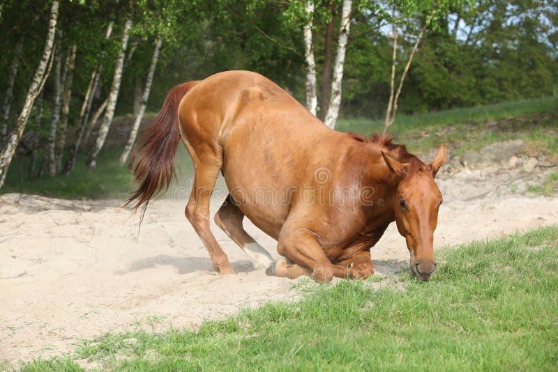 Cavalo da castanha que encontra-se para baixo na areia no verão quente fotografia de stock royalty free