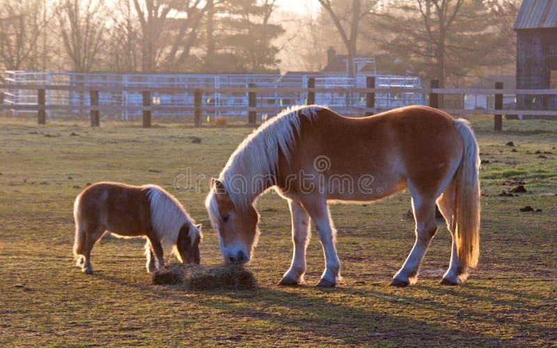Cavalo da mamã e do bebê que come o feno fotos de stock