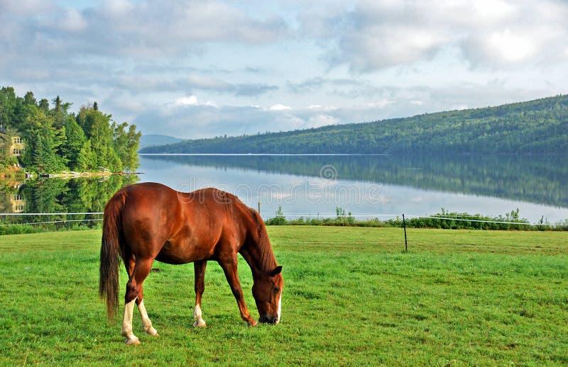 Cavalo da montanha de Kentucky foto de stock royalty free
