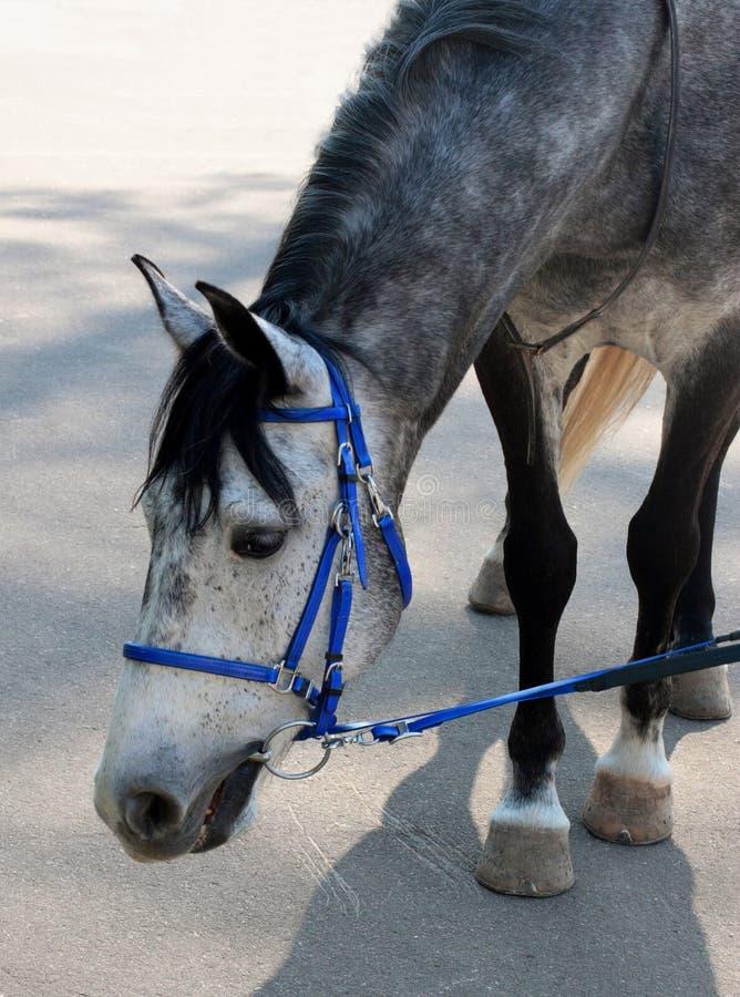Cavalo Dappled na cabeça de dobra do breio azul imagens de stock