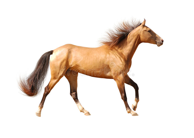Cavalo De Akhal-teke Isolado No Branco Imagens de Stock