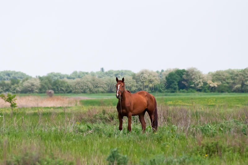 Cavalo de baía foto de stock