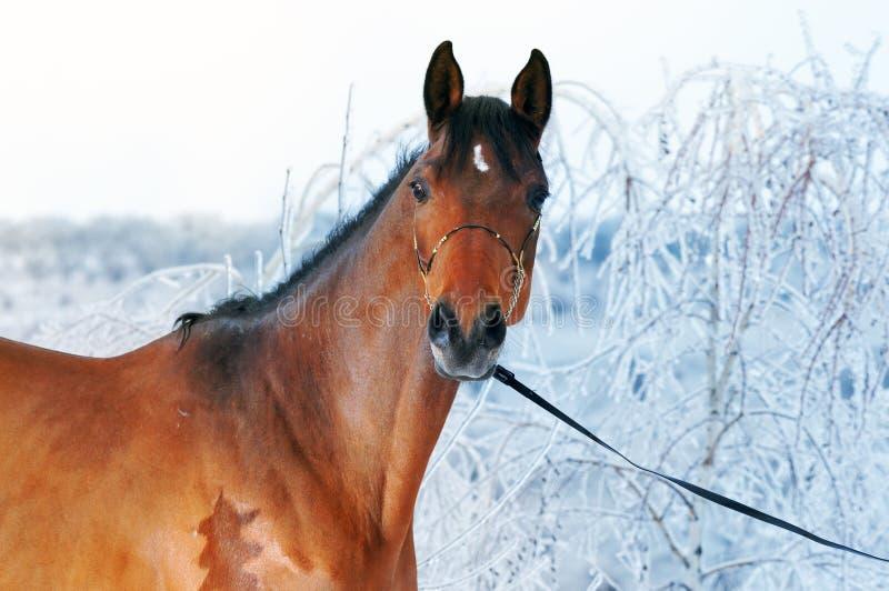 Cavalo de baía bonito na floresta mágica do inverno fotografia de stock
