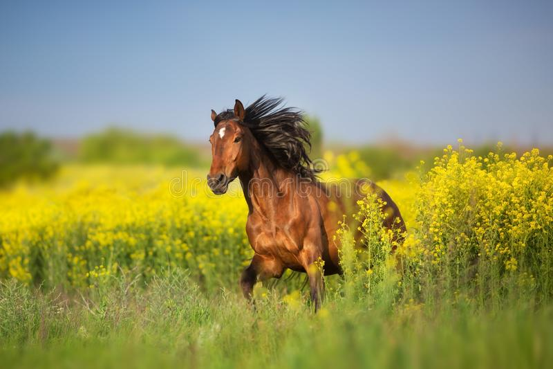 Cavalo de baía com juba longa foto de stock