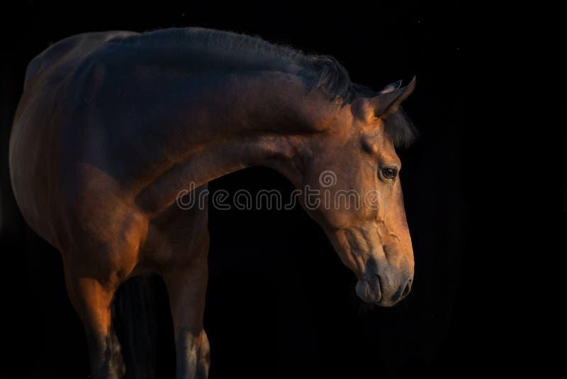 Cavalo de baía isolado no preto fotos de stock