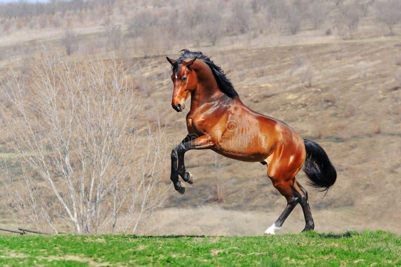 Cavalo de baía novo que eleva no campo imagem de stock royalty free