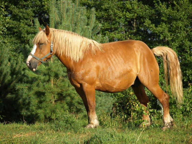 Cavalo de Brown imagem de stock royalty free