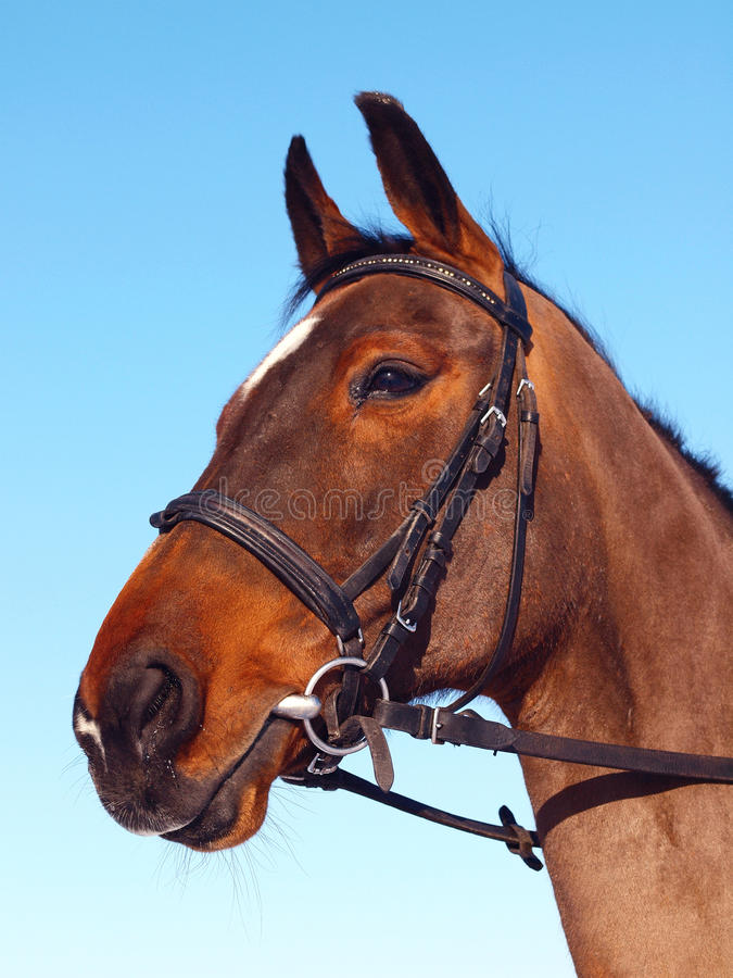 Cavalo de Brown fotografia de stock royalty free