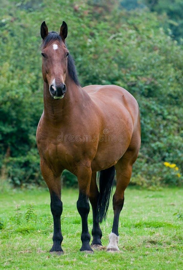Cavalo de Brown imagens de stock royalty free