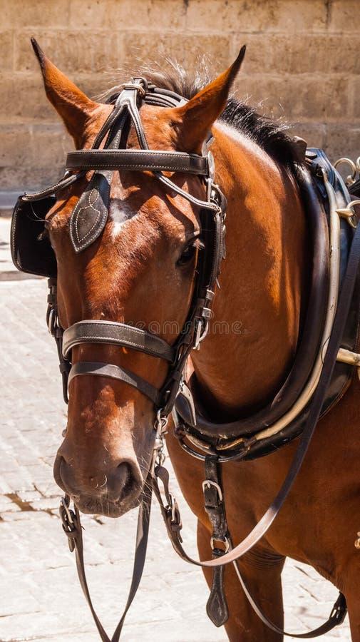 Cavalo de Brown com antolhos e chicote de fios imagem de stock