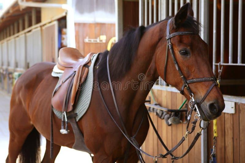 Cavalo de Brown com sela e rédeas imagens de stock