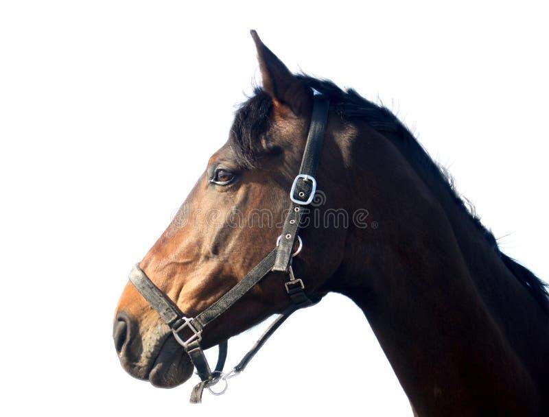 Cavalo de Brown, isolado imagem de stock royalty free