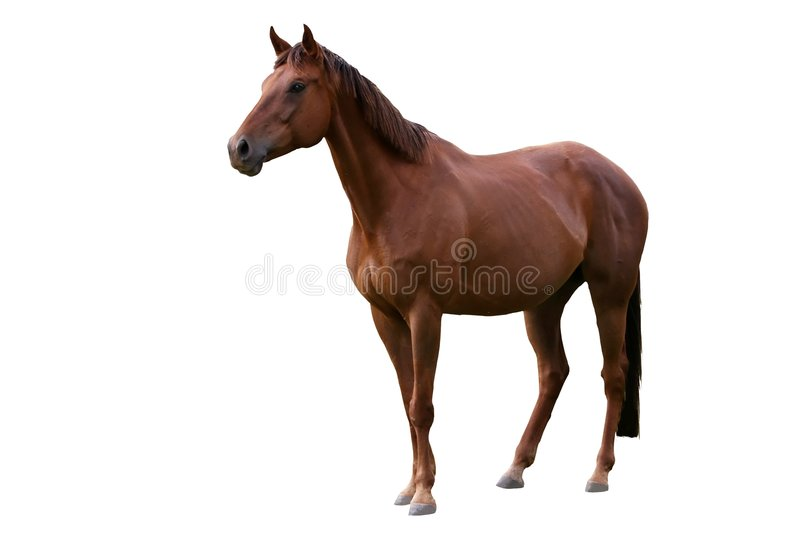 Cavalo de Brown isolado no branco fotos de stock royalty free