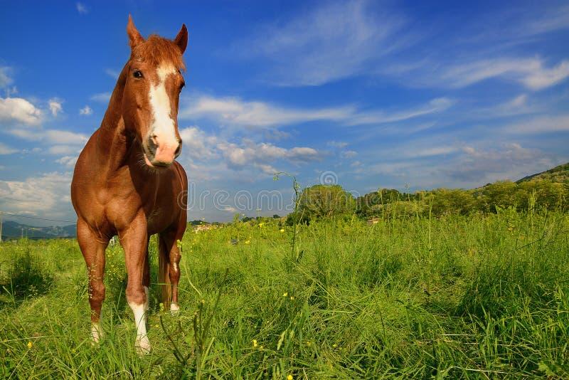 Cavalo de Brown que está no prado verde em Eslovênia fotografia de stock