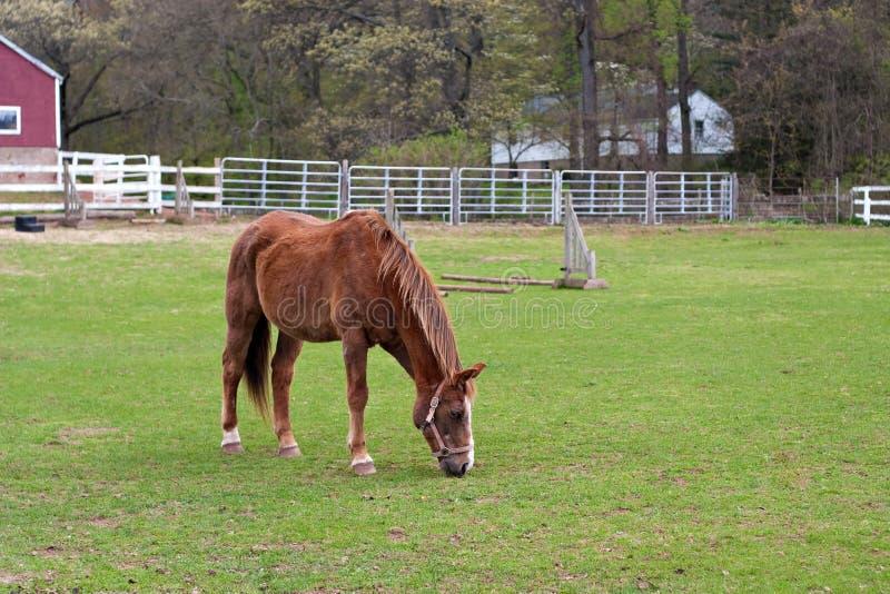 Cavalo de Brown que pasta imagens de stock royalty free