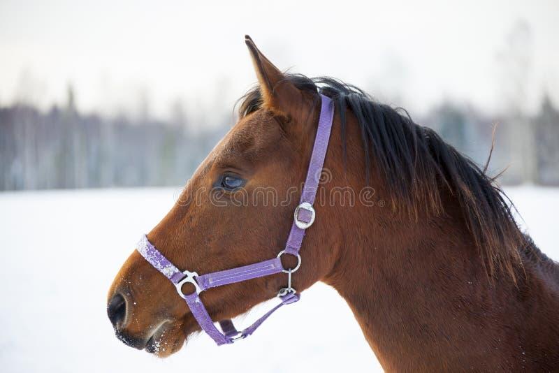 Download Cavalo De Condado No Inverno Foto de Stock - Imagem de pets, estação: 80101834