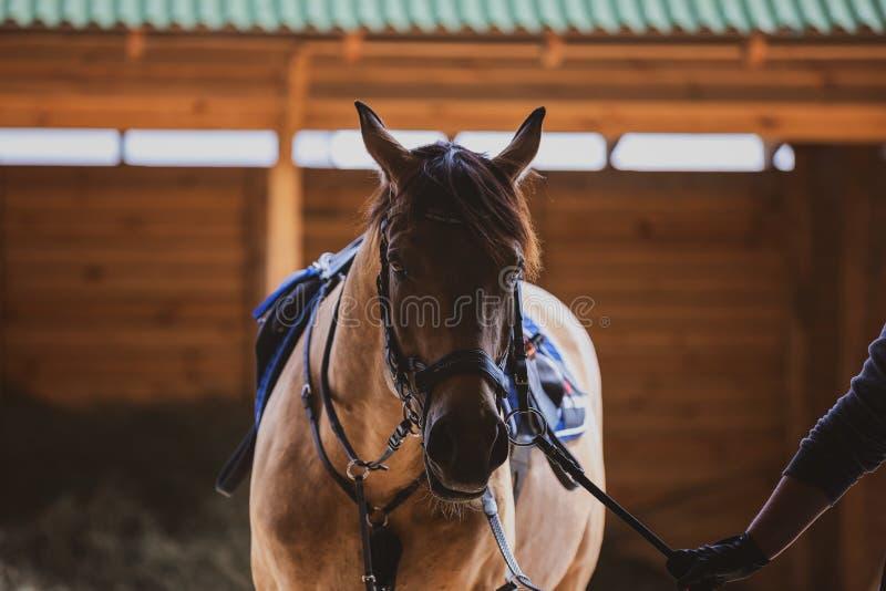 Cavalo de descaroçamento após formação fotos de stock