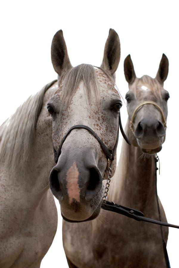 Cavalo de dois arabian isolado foto de stock