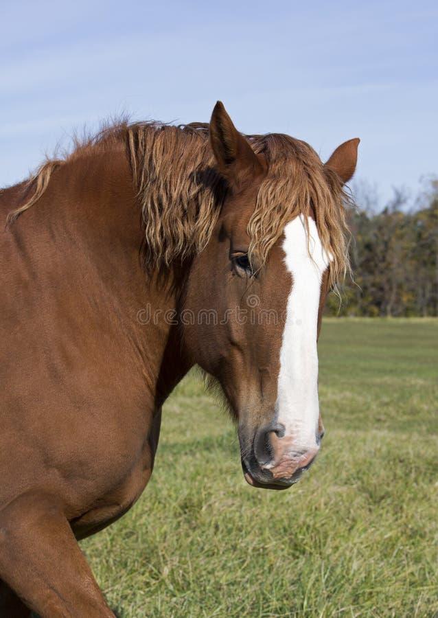 Cavalo de esboço belga imagem de stock royalty free