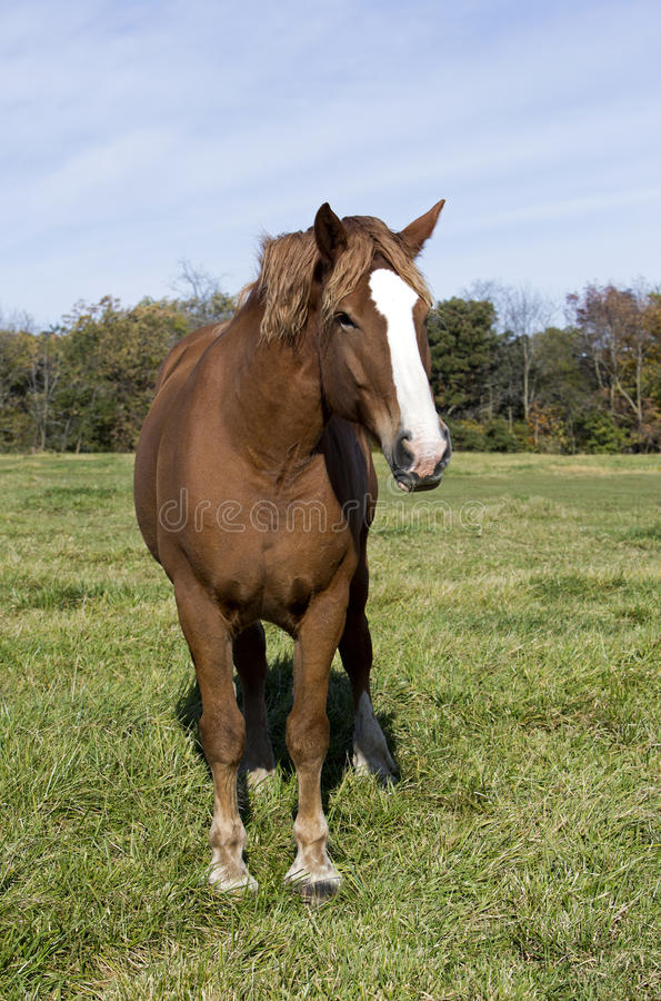 Cavalo de esboço belga foto de stock royalty free