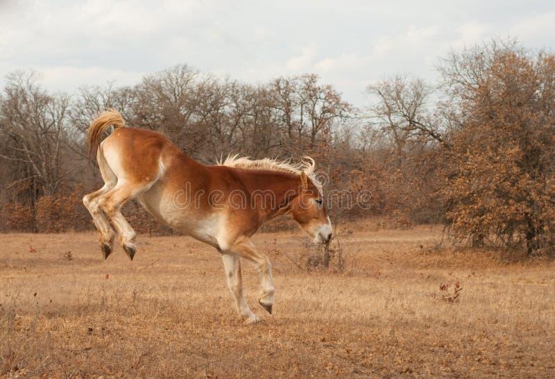 Cavalo de esboço belga que bucking ao funcionar fotos de stock royalty free