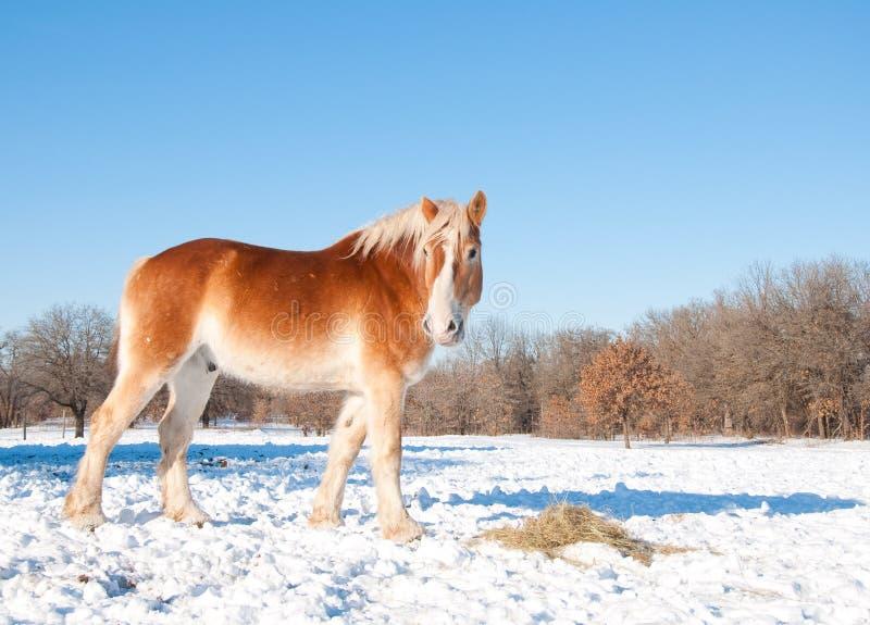Cavalo de esboço belga que come seu feno fotos de stock royalty free