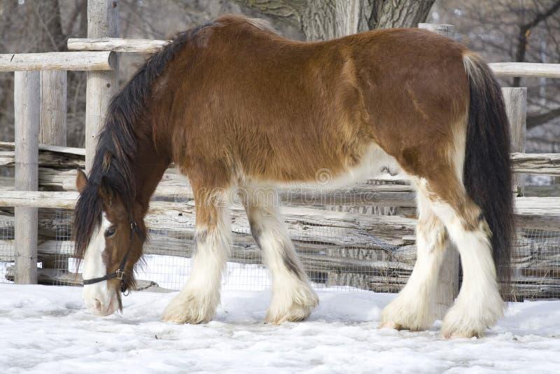Cavalo de exploração agrícola imagens de stock royalty free