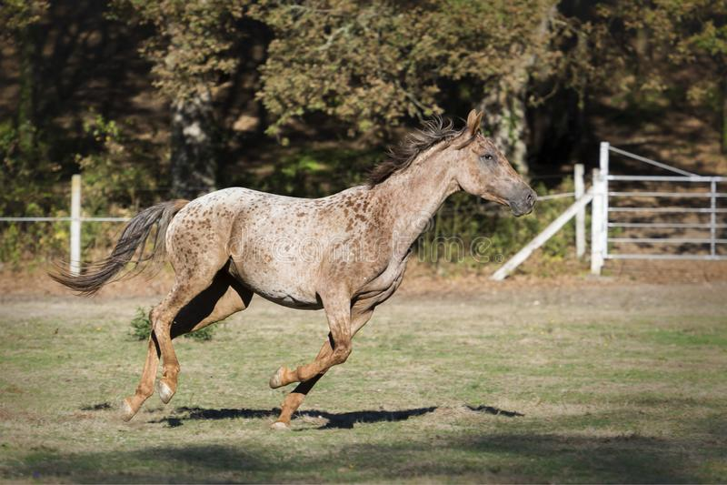 Cavalo de galope do Appaloosa em um prado imagem de stock