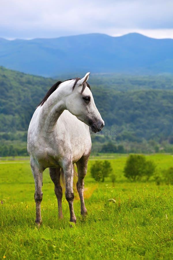 Cavalo de Gray Arab fotografia de stock royalty free