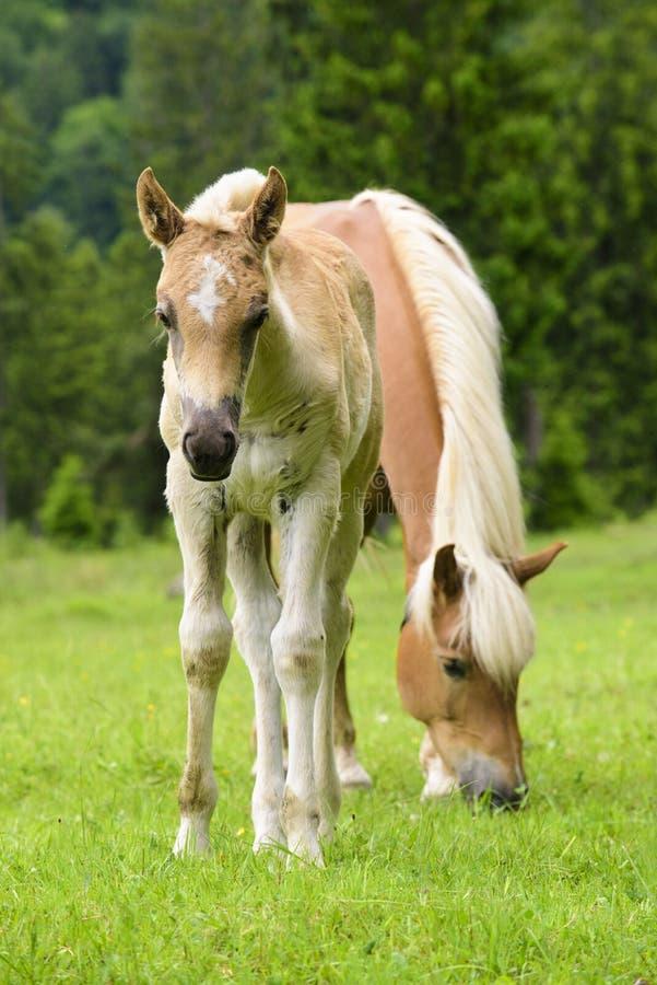 Cavalo de Haflinger com potro imagem de stock