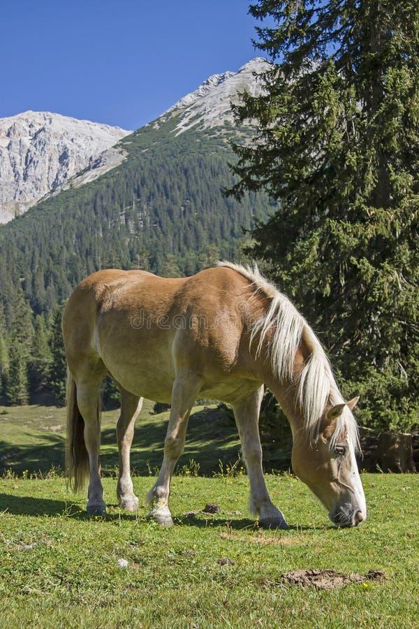 Cavalo de Haflinger em um prado da montanha foto de stock royalty free