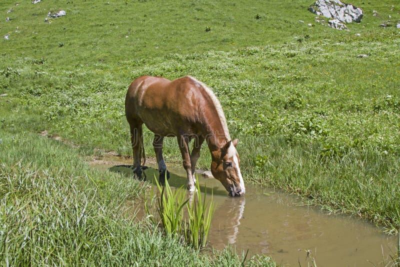 Cavalo de Haflinger em um ribeiro imagem de stock royalty free