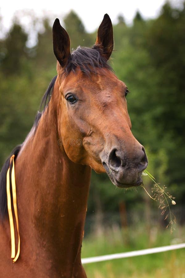 Cavalo de Hannoveraner fotografia de stock