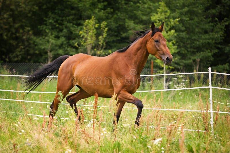 Cavalo de Hannoveraner que anda no campo de grama foto de stock