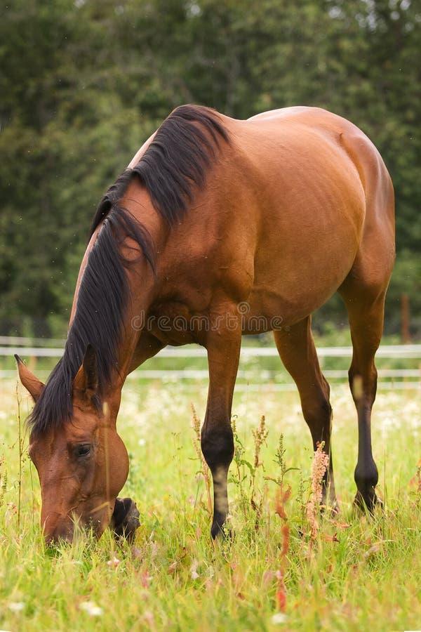 Cavalo de Hannoveraner que anda no campo de grama fotos de stock