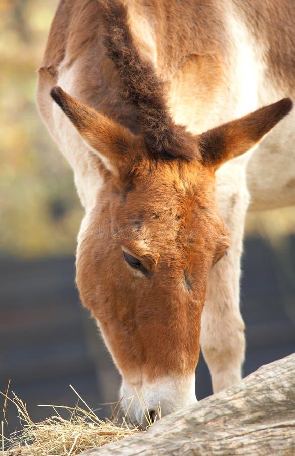 Cavalo de Kiang fotografia de stock royalty free